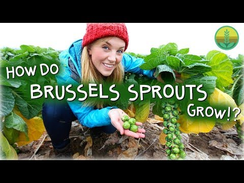 how-do-brussels-sprouts-grow?- -maddie-moate