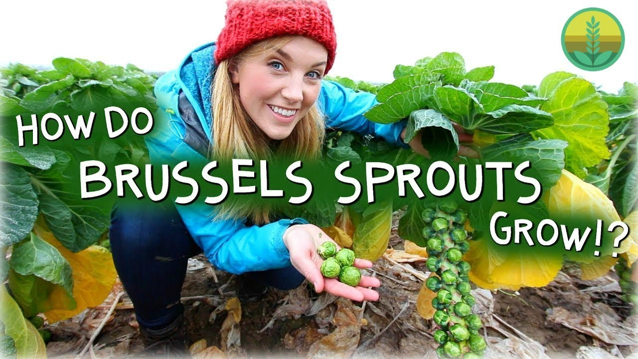 How Do Brussels Sprouts Grow? | Maddie Moate
