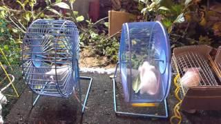 Chuột bạch vs thú vui nho nhỏ