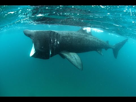 Close encounters with Ireland's basking sharks   Travel TV - Independent.ie Mp3