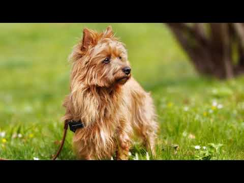 Australian Terrier - small dog breed