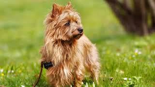 Australian Terrier  small dog breed