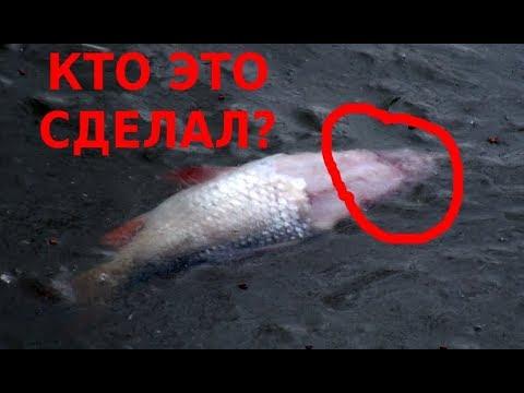 Рыба в ПРУДУ без головы. РЕЗУЛЬТАТЫ выращивания белых грибов