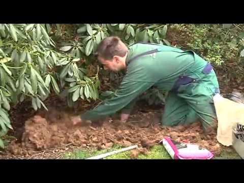 Rhododendron klargoering - Jespers Planteskole - YouTube
