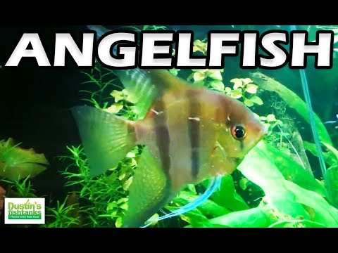 How To Keep Angelfish In The Planted Tank. Species Sunday