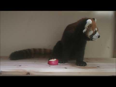 福岡市動物園:レッサーパンダ「ハルマキ」4歳のささやかなお誕生日会