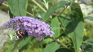 Buddleja davidii Border Beauty  Vlinderstruik  Atalanta