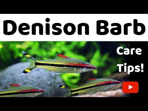 Denison Barb Care Tips
