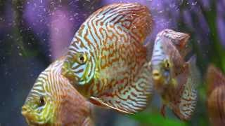 ДИСКУСЫ(Дискус -крепкая рыба,несложная в содержании и кормлении,едят фарш,омлет,хлеб)), 2013-11-17T10:25:49.000Z)