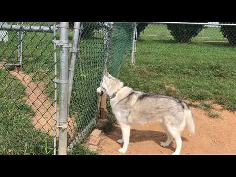 Husky howls for friends at dog park