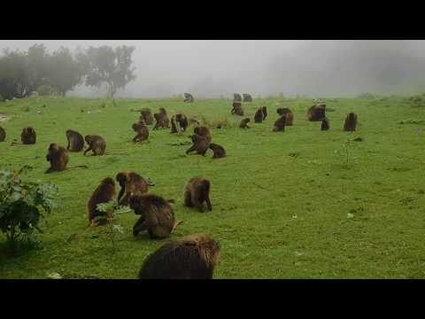 A troop of Gelada baboons (Theropithecus gelada) in the Simien Mountains, Ethiopia