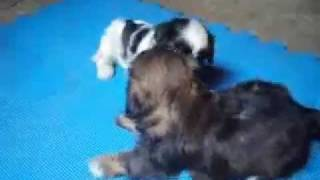 Shih Tzu For Your Home Sale (15t Female & 10t Male)