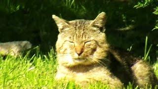 Kot jak Tygrys - Dzikie Zwierzę Kotek Dachowiec Wygląda jak Tygrysek z Afryki - Filmik Dla Dzieci