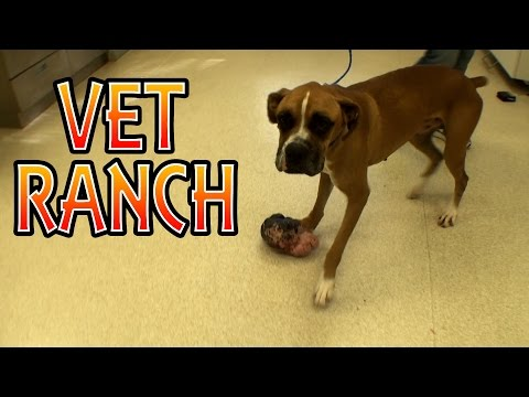 Boxer With HUGE Tumor, Surgery