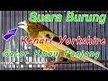 Suara Burung Kenari Yorkshire Gacor Kicau Panjang Cocok Untuk Pancingan  Mp3 - Mp4 Download