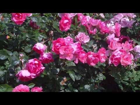 ばらの庭 My Rose Garden 2010(3) Izumi