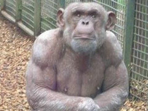 Study: Great Apes Sometimes Experience A Mid-Life Crisis, Just As Humans Sometimes Do -- Report