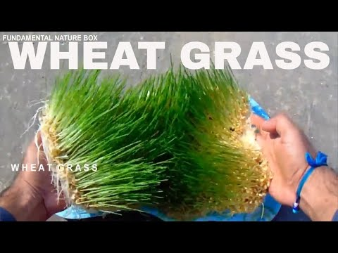 Must Watch how to grow Multi Health Beneficiary Organic WHEAT GRASS without soil at home.