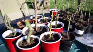 Elderberry and Willow Tree Cuttings - TIME TO PLANT!