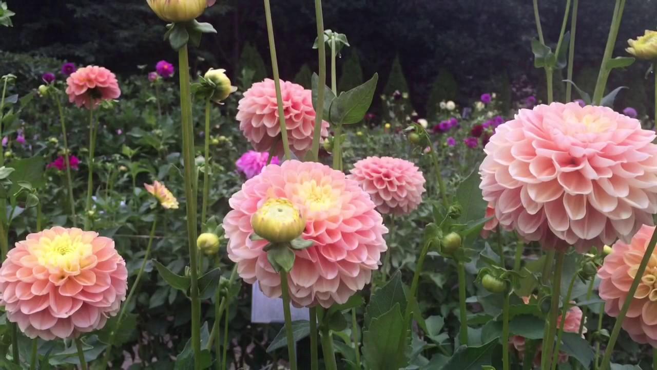 Dahlia barn best of cut flower season 2016 youtube dahlia barn best of cut flower season 2016 izmirmasajfo