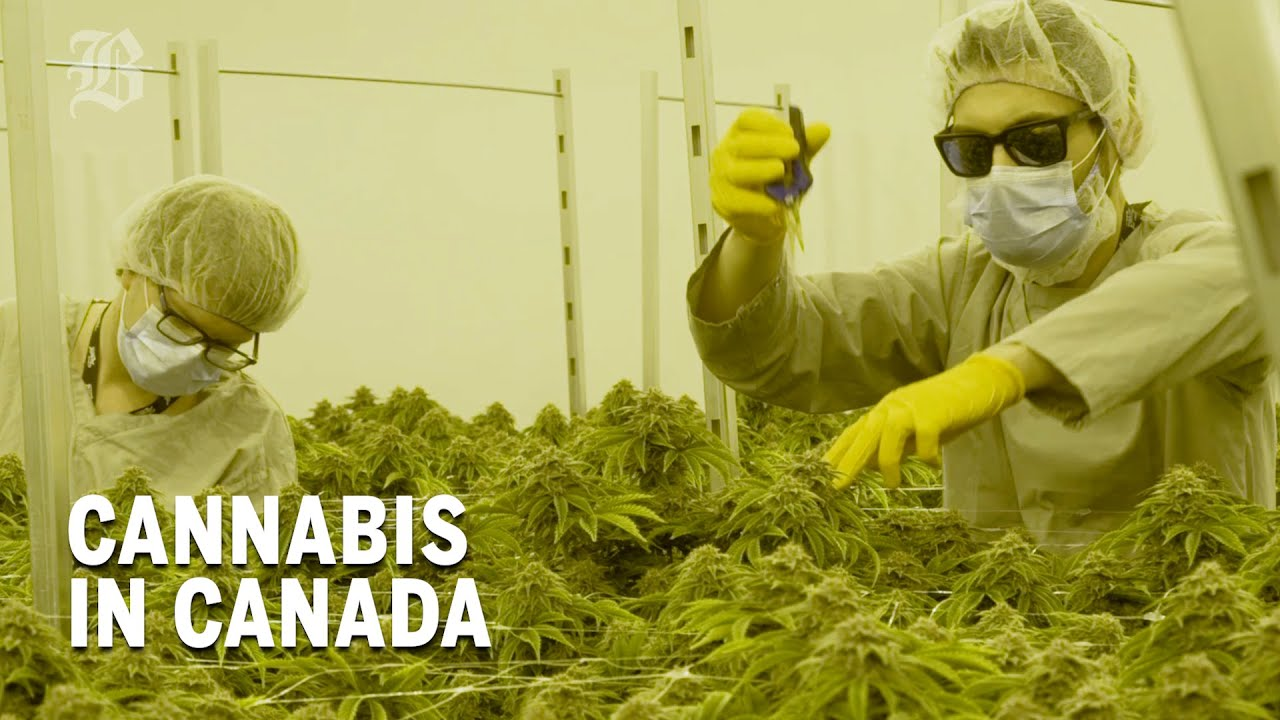 Download What we can learn from Canada's cannabis experiment | Boston Globe