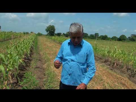 Mulching After 60 Days - Natural Farming by Subhash Sharma