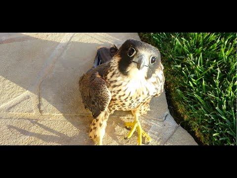 Baby Falcon Crashed and Rescued!