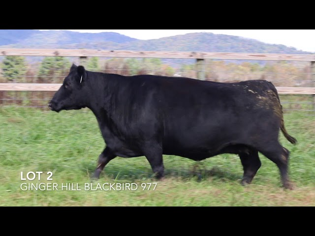 Ginger Hill Angus Lot 2