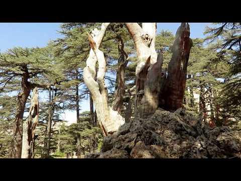 The Cedars of Lebanon. 2017