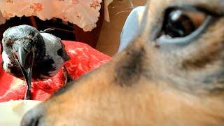 Ворона и собака съели мой завтрак