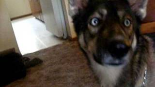 My German Shepherd/husky Mix