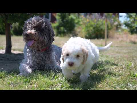 Lagotto Puppies playing with mom.