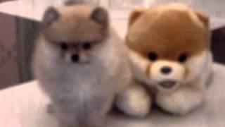 Boo The Pomeranian Want A Dog Like Boo