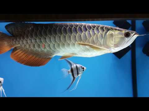 My cross back arowana