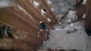 Suasana Rumah Burung Walet Penerapan Sirip Model Piramit Gawal Bonus
