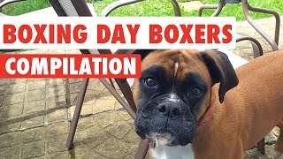 Boxing Day Boxer Dogs Video Compilation 2016