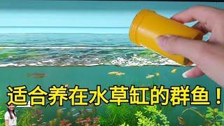【水草缸的鱼】适合水草缸的鱼宝莲灯鱼灯光鱼Cardinal tetra in an aquascaping tank 群鱼之一