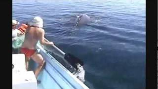 Amazing Humpback Whale Rescue & It's Joy After Being Set Free (2011)