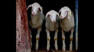 Кормление баранов  Кормушки для овец
