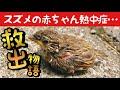 【雛スズメ保護】道路で動けない熱中症の赤ちゃん雀/ヒナの感動救出物語 I Helped A Sparrow