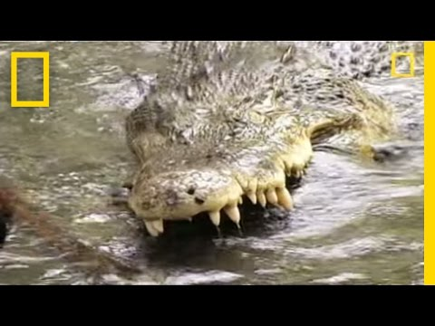 King Cobra vs. Saltwater Crocodile | National Geographic