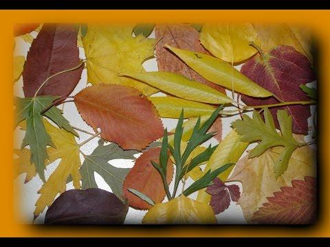 Поделки из листьев.  Как засушить листья мгновенно?