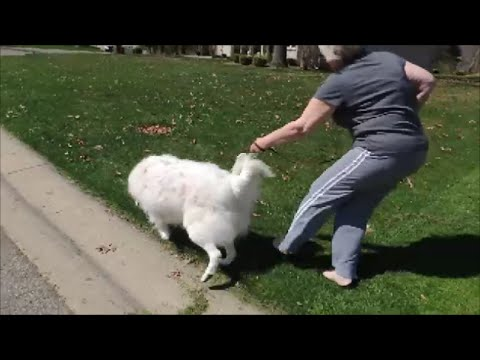 Great Pyrenees Drags Owner Down Street - Gentle Dog Training Collar - SafeCalm