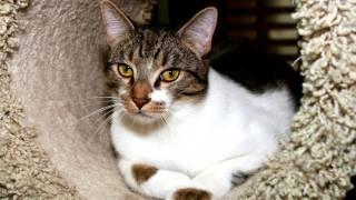 Порода кошек. Азиатская табби .Очарование природы.Красивая кошка появившаяся в Великобритании.