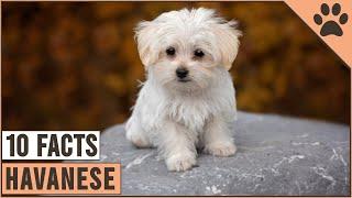 Havanese Dog Breed  Top 10 Facts | Dog World