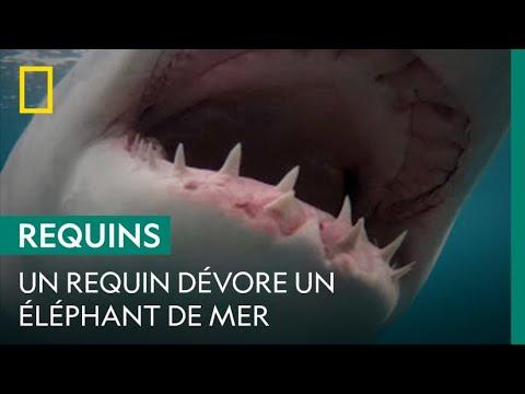 Scène rare d'un grand requin blanc dévorant un éléphant de mer