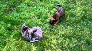 Border Terrier Puppy Playing With Burmese Cat