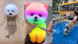 Tik Tok Chó Phốc Sóc Mini 😍 Funny and Cute Pomeranian #64