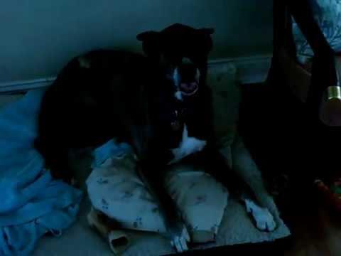 ibizan hound pharo hound mix NADA 12yrs old dog