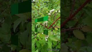 흰말채나무 열매